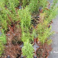 Rosemary - Phytophthora root rot