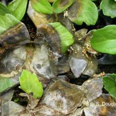 Sclerotium crown rot - Pachysandra
