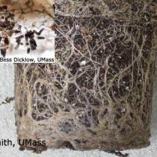 Calibrachoa - Black rot (Thielaviopsis)