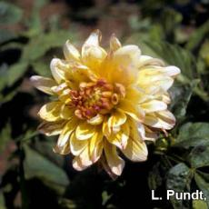 Thrips damage – Dahlia flower and foliage