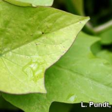 Thrips damage - Ipomeoa