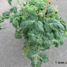 Tomato plant - Intumescence