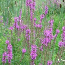 Invasive Plant - Purple Loosestrife