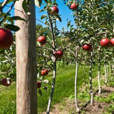 Apple trees at Cold Spring Orchards