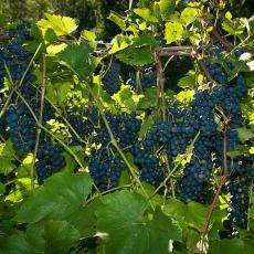 Grapes at Cold Spring Orchards