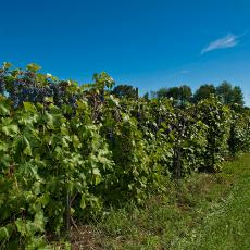 Grape vines at Cold Spring Orchards