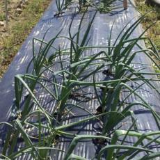 Onion variety trials