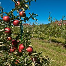 Apple trees at Cold Spring Orchard