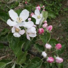 Apple blossom at Cold Spring Orchard