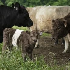 Belted Galloway calf, South Deerfield Crop and Animal Farm, 2019