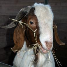Goat at the Hadley Farm