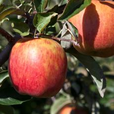 Gala apples at Cold Spring Orchard