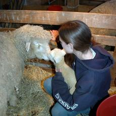 Lamb with mother at the Hadley Farm