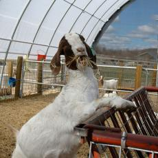 Goat eating hay at the Hadley Farm
