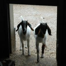 Two goats at the Hadley Farm