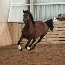 Horse training at the Hadley Farm