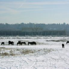 Bay State Morgan Herd in Winter