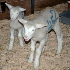 Lambs at the Hadley Farm