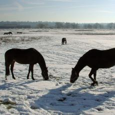 Horses foraging in winter at the Hadley Farm