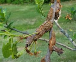 Black know infection of plum shoot in an early stage