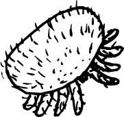 Varroa Mite Drawing