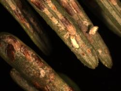 Close-up of elongate hemlock scale on hemlock and fir needles. Tawny Simisky