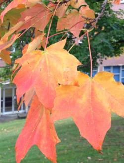 The brilliant gold-orange color of the Sugar Maple –  an excellent example of Autumn color change.  (R.Harper, Oct 2012)