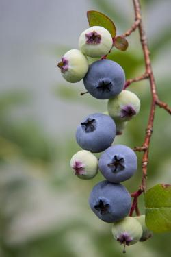 Compact blueberries on bush