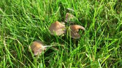 Mushrooms commonly arise in lawns during wet weather (Photo by J. Lanier).
