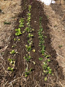 Figure 1. Spinach in Franco's' garden on April 25th. Spinach transplanted on April 10th.  (Picture by Franco Mangan)
