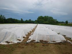 Figure 5. Row cover used to protect a leafy green grown at the UMass Research Farm in Deerfield MA susceptible to a serious insect pest in 2010 (Foto by Franco Mangan)
