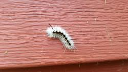 Hickory tussock moth caterpillar