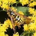 Yellowjacket on goldenrod