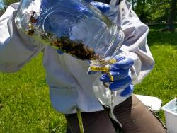 taking a bee sample
