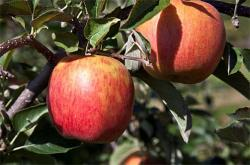 2011 New England Tree Fruit Management Guide