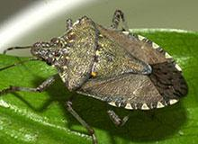 Brown Marmorated Stink Bug ID and Biology