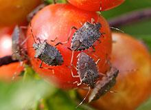 Brown Marmorated Stink Bug Monitoring