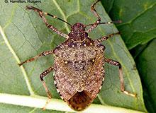 Brown Marmorated Stink Bug Management