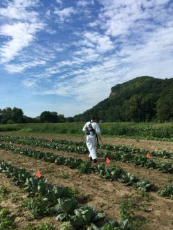 Sue spraying a cabbage crop, evaluating OMRI-approved insecticides to control cabbage aphid.