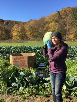 Harvesting fall cabbage at the end of the cabbage aphid study, 2017. Most of the produce from our trials is donated to the Food Bank of Western MA.