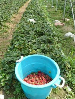 gathering cull strawberries from day neutral field (curtesy of Ontario Ministry of Agriculture, Food and Rural Affairs)