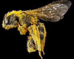 bee with pollen USGS image