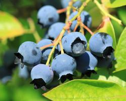 New England Small Fruit Management Guide, 2015-2016 edition.