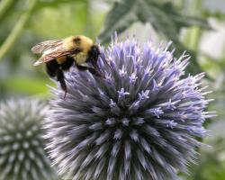 Bombus on thistle