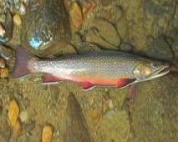 Brook Trout, iconic Massachsuetts fish.photo USFS