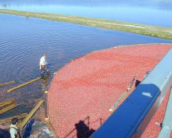 Corraling cranberry harvest