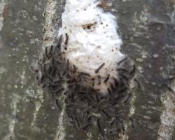 Newly hatched gypsy moth caterpillars resting near their egg mass on 5/3/2018 in Boylston, MA. Photo courtesy of Dawn Davies.