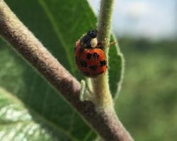 Lady beetle on apple leaf petiole