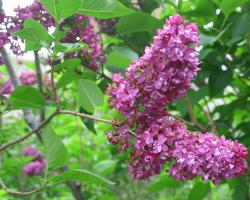 lilacs bloom on UMass Amherst campus