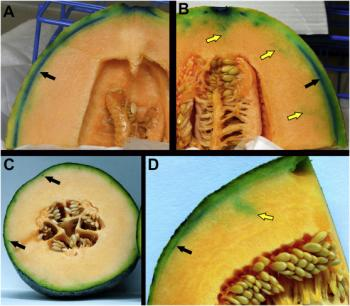 Infiltration of human pathogen Listeria monocytogens, accompanied by blue dye for visualization, into cantaloupe after hydrocooling. Source: Macarisin et al. 2017.